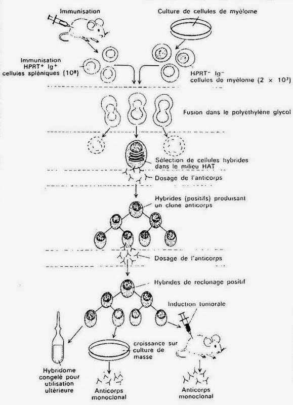 les Utilisations Médicales des Anticorps Polyclonaux