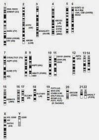 Sch�ma repr�sentant la localisation des g�nes des diff�rents syst�mes sur les chromosomes