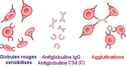 Schéma de l'action des antiglobules sur les hématies sensibilisées
