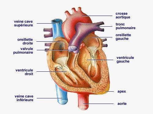 Les H 233 Maties Des Transfusions Traversent Diff 233 Rents Organes
